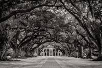 Oak Alley in Black and White