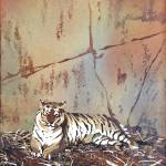 """""""Watercolor painting of tiger resting at zoo"""" by RFoxWatercolors"""