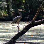 """Great Blue Heron in Wetlands"" by KsWorldArt"
