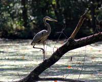 Great Blue Heron in Wetlands
