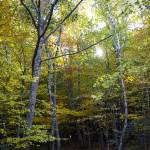 """""""yellow tree forest sun 2"""" by Aspenridgegallery"""