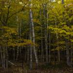 """""""yellow tree forest 3"""" by Aspenridgegallery"""