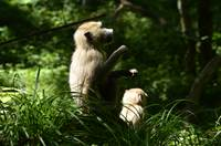 Baboons in Tanzania Light