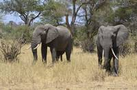 Pair of Elephants in Tanzania