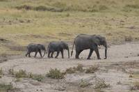 African Elephants in Tanzania