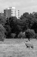 London UK Richmond Park Deer