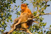 Borneo Monkey and Baby