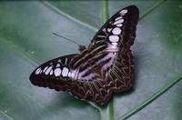 Borneo Butterfly
