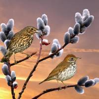 Wood Thrush and Pussy Willow Tree by I.M. Spadecaller