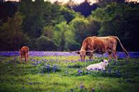Three Longhorns in a Field of Blue