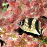 """""""Butterflyfish15-OCT-2016f8"""" by JoaoPonces"""