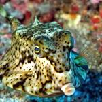 """Roundbelly Cowfish, ""Lactoria diaphana"""" by JoaoPonces"