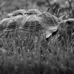 """African Spurred Tortoise Black and White"" by KsWorldArt"