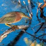 """Green Heron"" by DAJOPHOTOS"