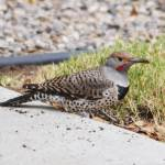 """Gilded Flicker 1 - Male"" by awsheffield"
