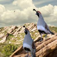 Gambel's Quail by I.M. Spadecaller