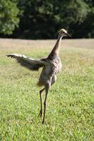 Juvenile Sandhill Spreading Wings