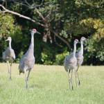 """Family of Four Sandhill Cranes"" by Groecar"