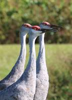 Three Sandhill Cranes on Alert
