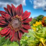 """Black Sunflower"" by WildAboutNaturePhotography"