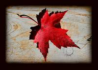 Red Maple Leaf with Black Border