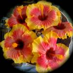 """Hibiscus 1"" by jennylee"