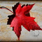 """Red Maple Leaf with Burnt Edge"" by KsWorldArt"