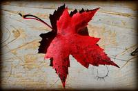 Red Maple Leaf with Burnt Edge