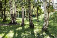 Birches in Kyiv Botanic Garden