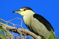 Black-crowned Night Heron in Tree