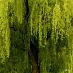 """Enchanting Weeping Willow Tree"" by PhotographsByCarolFAustin"