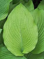 Broad Leaf