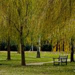 """WEEPING WILLOW TREE PARK SCENE"" by PhotographsByCarolFAustin"