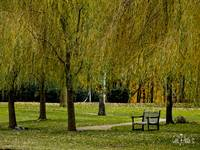 WEEPING WILLOW TREE PARK SCENE