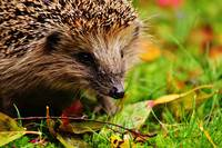 hedgehog-child-1759000