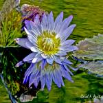 """PURPLE WATER LILY CLOSE-UP FLOWER"" by PhotographsByCarolFAustin"