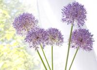 Sunlit Alliums