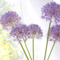Sunlit Alliums Art Prints & Posters by Judy Stalus