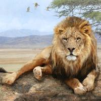 kopje rock-- african lion reclining Art Prints & Posters by r christopher vest