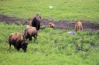 bison 3 calves