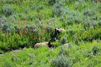 2 grizzly bears in flower meadow relaxing