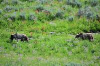 2 griz brown bears in flowers