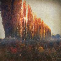 row of poplars  by r christopher vest
