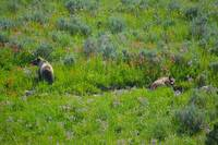 2 grizzly brown bears in flower meadow sleep