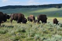 Yellowstone park bison family standing eatting