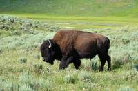 Bison walking alone in Yellowstone Park