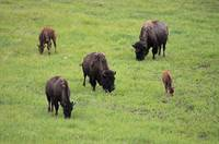 bisonwith2calves