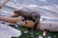 otter river baby on log look left