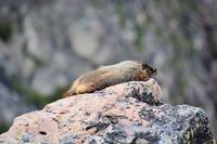 big marmot sunning on rock montana