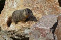 Baby marmot on rock in Montana